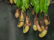 Nepenthes Stock Photography