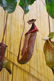 Nepenthes Στοκ Φωτογραφία