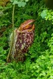 Nepenthes Стоковая Фотография