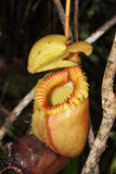 Nepenthes στοκ εικόνα με δικαίωμα ελεύθερης χρήσης