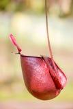 Nepenthes Photographie stock libre de droits