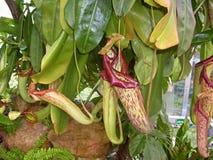 Nepenthes Royaltyfria Bilder