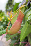 Nepenthes Arkivfoto