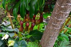 Nepenthes Стоковые Фотографии RF