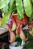 Nepenthes Fotografia de Stock