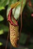 επίσης ως γνωστό φλυτζάνι τοπικά φυτό σταμνών πιθήκων nepenthes Στοκ Φωτογραφίες