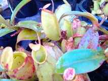 Nepenthes Image stock