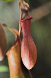 Nepenthes Royalty-vrije Stock Fotografie