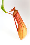 Nepenthes Alata, a carnivorous Plant,with green le. Red Nepenthes Alata, a carnivorous Plant,with green leaf,isolated on white Stock Photo