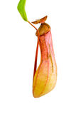 Nepenthes Alata, a carnivorous Plant,with green le. Red Nepenthes Alata, a carnivorous Plant,with green leaf,isolated on white Stock Image