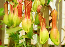 Nepenthes Alata, a carnivorous Plant. Royalty Free Stock Images