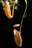 Nepenthes Alata Flower or Pitcher Plant Stock Photos
