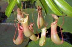 Nepenthes alata Pitcher plant Stock Photo