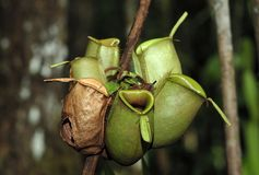 Nepenthes, also known as tropical pitcher plants, is a genus of carnivorous plants Stock Images