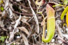 Nepenthes ampullaria Jack auf undeutlichem Hintergrund lizenzfreies stockfoto