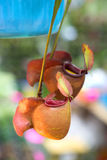 Nepenthes ampullaria And Pitcher plant Royalty Free Stock Image