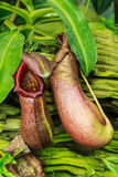 Nepenthes Royalty Free Stock Image