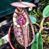 Nepenthes burbidgeae Royalty Free Stock Photo