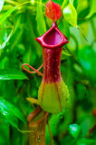 Nepenthes a Carnivorous plant Royalty Free Stock Photos