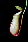 Nepenthes a carnivorous plant Stock Photography