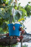 Nepenthes carnivorous plant Stock Images