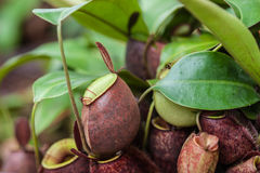 Nepenthes carnivorous plant Royalty Free Stock Photography
