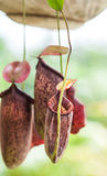 Nepenthes carnivorous plant Stock Image