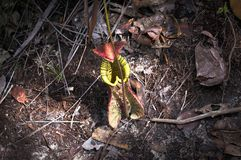 Nepenthes Royalty Free Stock Images