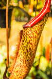Nepenthes. Cookware, early flowering with beautiful colors Stock Images