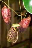 Nepenthes (cuvettes de singe) Photographie stock libre de droits