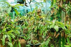 Nepenthes dans le jardin Images stock