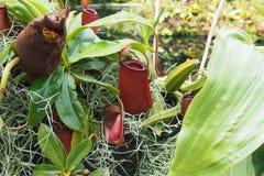 Nepenthes del color rojo con las hojas verdes Imagenes de archivo