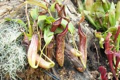 Nepenthes del color rojo con las hojas verdes Fotografía de archivo libre de regalías