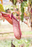 Nepenthes Stock Photo