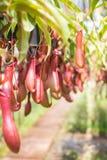 Nepenthes Stock Photos
