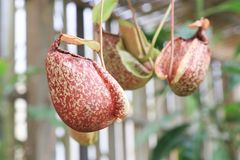 Nepenthes, exotic flower Royalty Free Stock Image