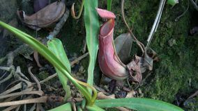 Nepenthes för växt för tropisk kanna som kallas också som apakopp arkivfilmer