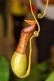 Nepenthes (Fallhammercup) Lizenzfreies Stockfoto