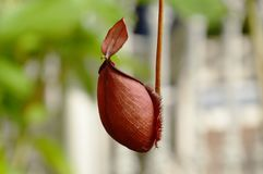Nepenthes hybrids or pitcher plant hanging from branch in garden. Nepenthes hybrids or pitcher plant hanging from branch in the garden royalty free stock photography