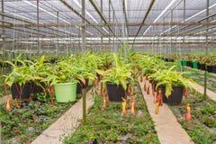 Nepenthes i garden& x28; Suan Lung Wut & x29; Arkivbilder