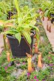 Nepenthes i garden& x28; Suan Lung Wut & x29; Arkivfoton