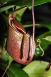 Nepenthes insectivore Ampullaria d'usines images stock