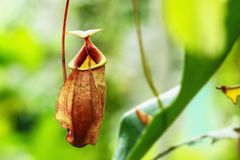 Nepenthes insectivore Ampullaria d'usines sur le backgroun de nature photos stock