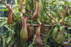 Nepenthes - köttätande växter som växer i tropiska Asien royaltyfri fotografi