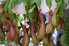 Nepenthes Kannenpflanze mit Cups Lizenzfreie Stockbilder