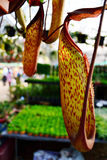 Nepenthes Leopard Stock Photos