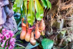 Predatory plant Nepenthes. Nepenthes. Little predatory plant with elongated leaves and hanging clusters of small pitchers Royalty Free Stock Images