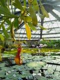 Nepenthes, lotusblomma och näckros i ett damm av vattenväxthuset royaltyfri foto