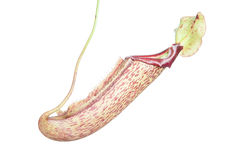 Nepenthes (Miranda) Royalty Free Stock Image