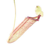 Nepenthes (Miranda) Royalty Free Stock Photography